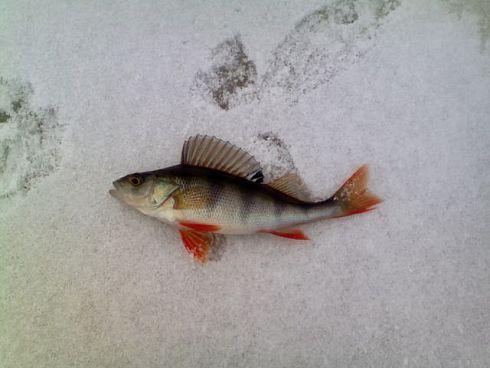 клев рыбы в коряжме