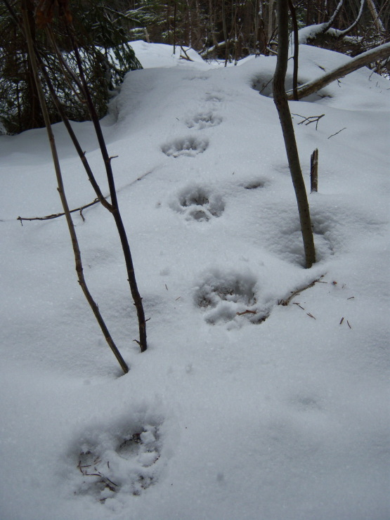 следы животные на снегу фото